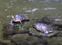 Tortugas tomando sol