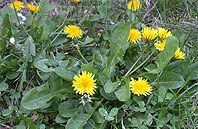 Dandelions: Cheerful & Prolific
