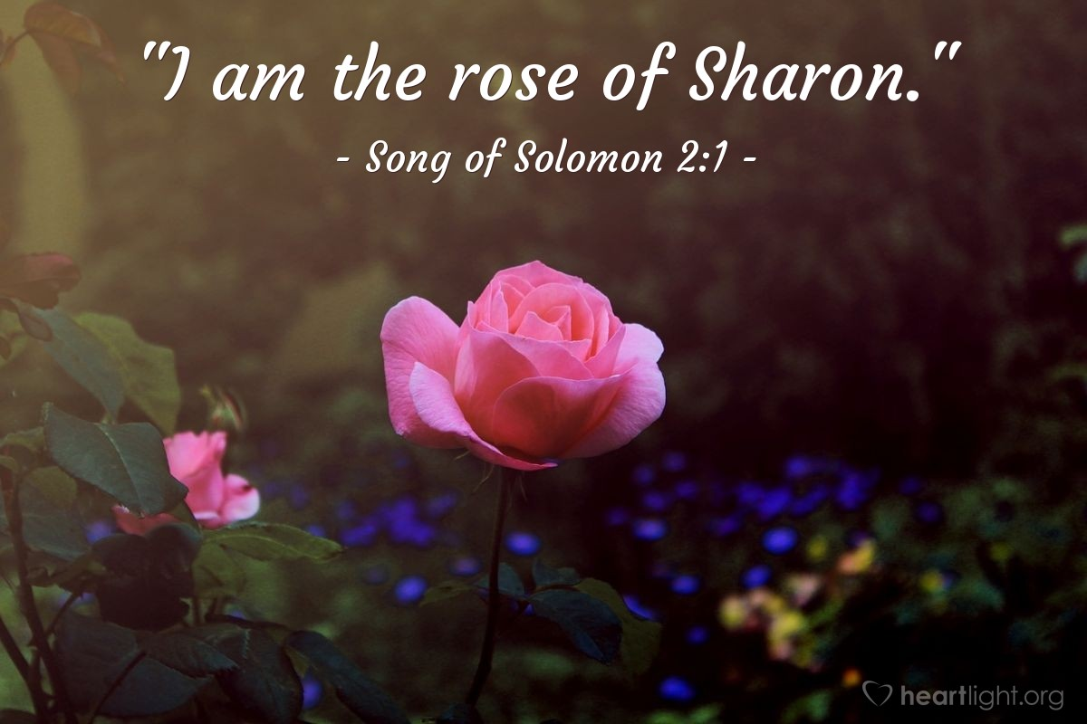 """Illustration of Song of Solomon 2:1 — """"I am the rose of Sharon."""""""