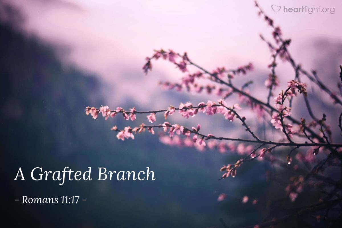 A Grafted Branch — Romans 11:17