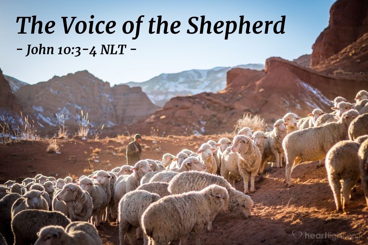 "Illustration of John 10:3-4 NLT — ""The gatekeeper opens the gate for [the shepherd], and the sheep recognize his voice and come to him."""