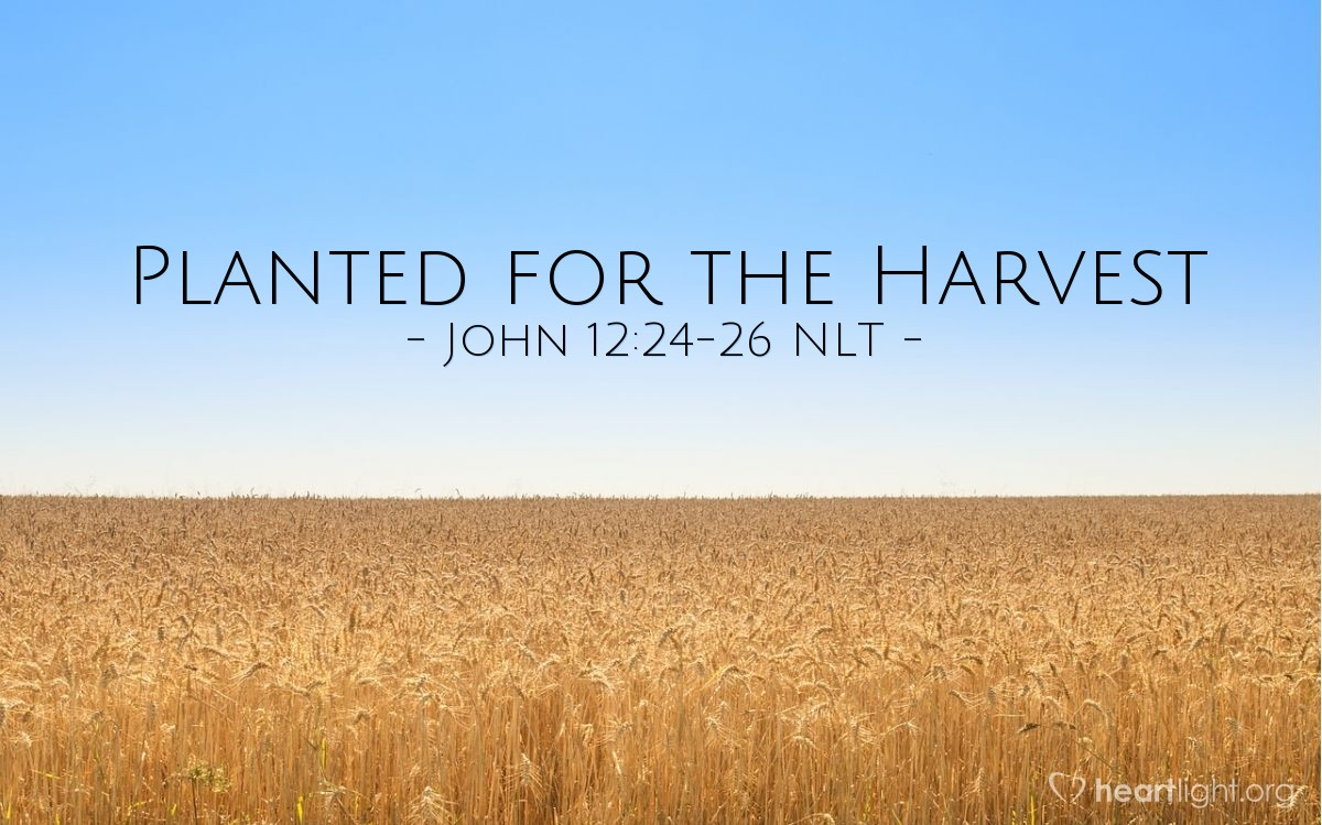 Illustration of John 12:24-26 NLT —  But its death will produce many new kernels — a plentiful harvest of new lives.