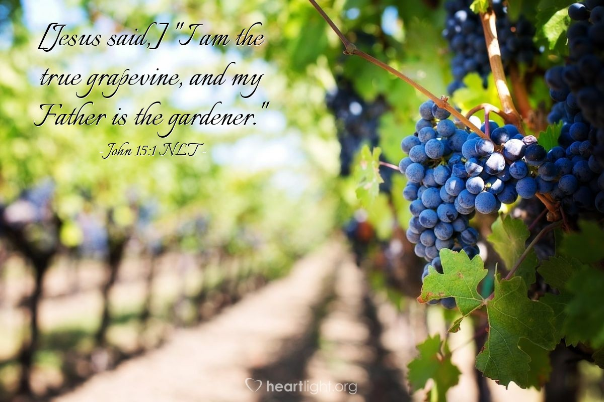 "Illustration of John 15:1 — {Jesus said,} ""I am the true vine; my Father is the gardener."""