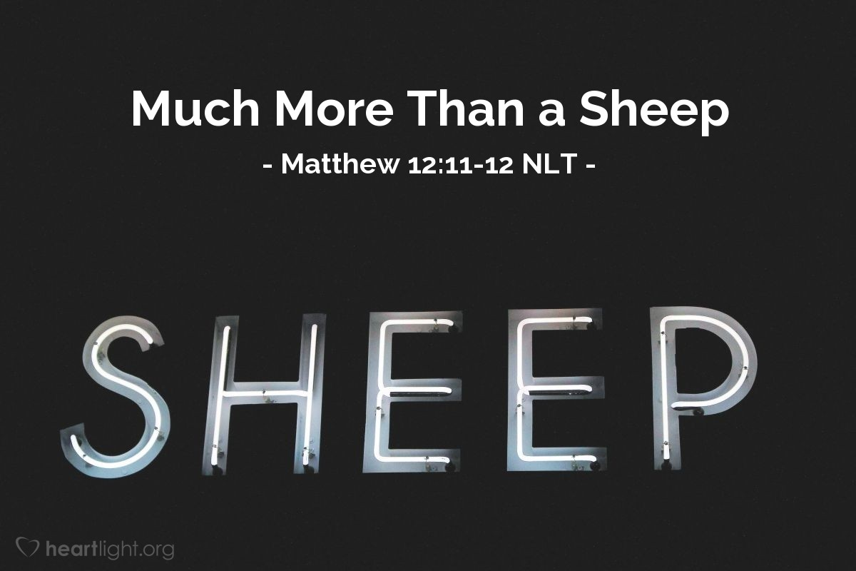 "Illustration of Matthew 12:11-12 NLT — ""If any of you has a sheep, and the sheep falls into a ditch on the Sabbath day, then you will take the sheep and help it out of the ditch."""