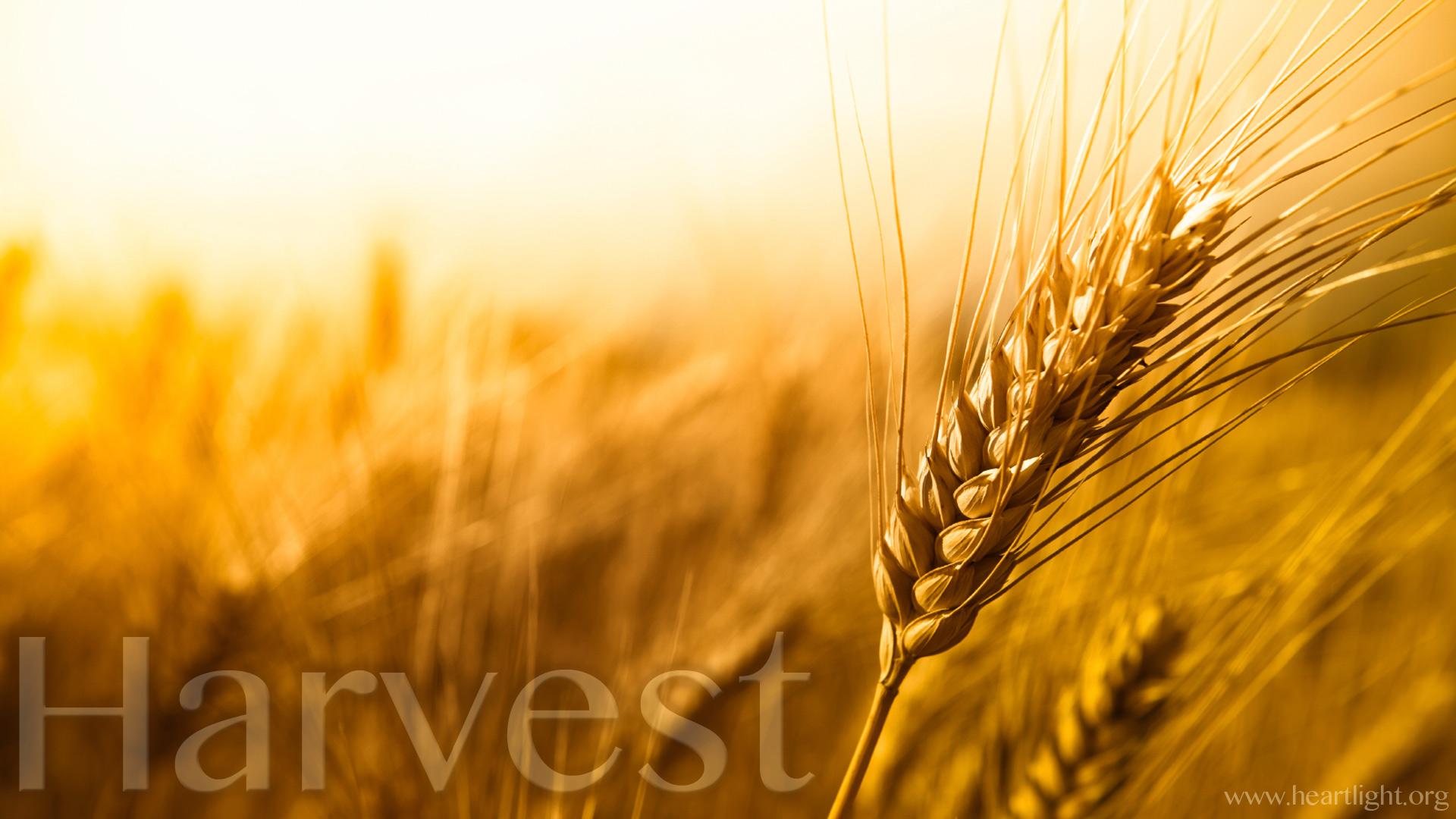 Quot Harvest Quot Powerpoint Background Of Matthew 9 37 38